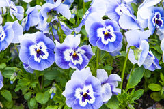 Blue Viola Tricolor Stock Image