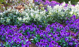 Blue Viola tricolor or heartsease. Stock Image