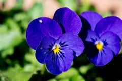 Blue violas in a planter box. Violas bloom in a planter box in a small park in Yamato, Japan Royalty Free Stock Image