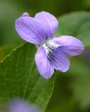 Blue Violet. Tiny blue violet blossom and heat-shaped green leaves Royalty Free Stock Photography