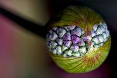 Blue violet allium ampeloprasum Stock Photo