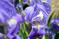 Blue-violet bearded iris Stock Image