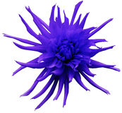 Blue-violet  Dahlia flower, white isolated background with clipping path.   Closeup.  no shadows.  For design.  Bright shaggy flow Stock Images