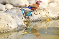 Blue and Violet-eared Waxbills - Cute Beauty Bird Background from Africa Stock Photos