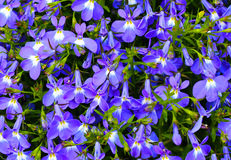 Blue violet flowers background Stock Photo