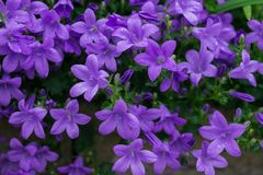 Blue or violet flowers bells in stone pot. Campanula blossom close up royalty free stock photography