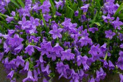 Blue or violet flowers bells in stone pot. Campanula blossom close up stock images