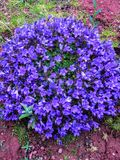 Blue or violet flowers bells in stone pot. Campanula blossom close up royalty free stock images