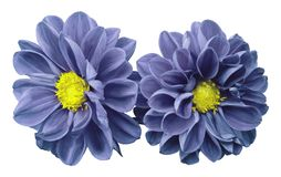 Blue-violet flowers dahlias on white isolated background with clipping path.  No shadows. Closeup. Nature Stock Images