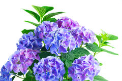 Blue and violet hortensia flowers Stock Photography