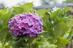 Hortensia flowers with green leaves close up isolated on white background stock photo