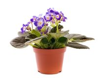 Blue violet houseplant Stock Photo