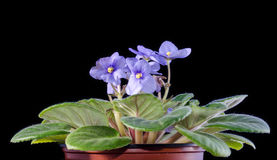 Blue violet isolated on black Royalty Free Stock Photography