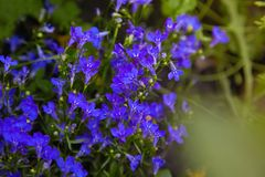 Blue violet Lobelia erinus Sapphire flowers or Edging Lobelia. Garden Lobelia a popular edging plant in gardens for hanging baskets and window boxes stock images