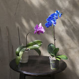 The Blue and violet orchid in a pot on a black wooden table opposite the concrete wall in the garden Royalty Free Stock Photo