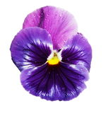 Blue violet pansy with water droplets isolated on white Royalty Free Stock Photos