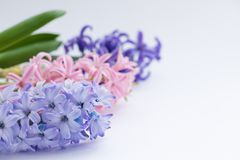 Blue, violet and pink hyacinths isolated on white background. Spring or March 8 poscard concept Stock Images