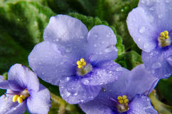 Blue violet with water drops Stock Photography
