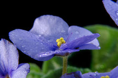 Blue violet with water drops isolated on black. Stock Photography