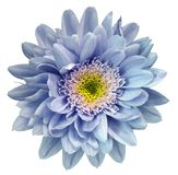 Blue-violet-yellow chrysanthemum flower isolated on white background with clipping path. Closeup no shadows. For design. royalty free stock image
