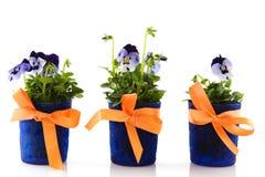 Blue Violets Stock Photos