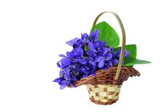 Blue violets in a basket isolated. Bouquet of sweet violets in a small basket, isolated on white background Stock Photo