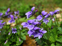 Blue violets Stock Photography
