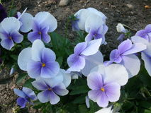 Blue violets royalty free stock photography