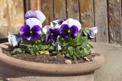 Blue  violets in a spring  garden Royalty Free Stock Image