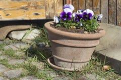 Blue  violets in a spring  garden Stock Photos
