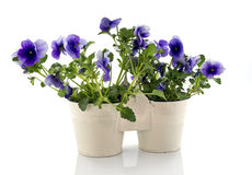 Blue violets in white vases Stock Image