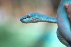Blue viper on branch, snake, reptile. Blue viper snake on branch royalty free stock images