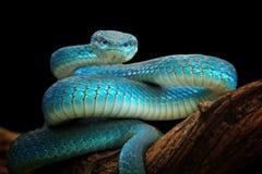 Free Blue Viper Snake Closeup Face, Head Of Viper Snake Royalty Free Stock Image - 182873046