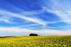 Blue vivid sky over yellow field Royalty Free Stock Photography