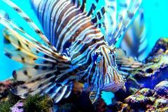 Blue Volitan Lionfish in Aquarium. A blue Volitan Lionfish in Aquarium royalty free stock photography