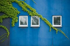 Blue wall and ivy. Close up of blue building with three windows and ivy over stock photos