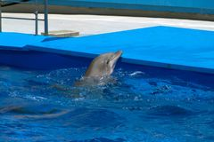 The head of the dolphin in the sea circus. The blue water and the gray head of the dolphin. Representation in a marine circus or aquarium Royalty Free Stock Photography