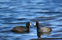 The chicken bones of two deep feeling of looking at each other. In the blue water of the lake, a coot chicken waterfowl free swimming on the surface of the stock image