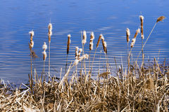 The blue water of the lake and reeds. Royalty Free Stock Image