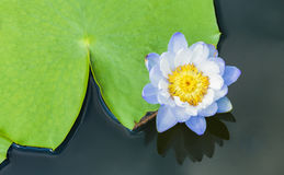 Blue water lily with big green leaf Royalty Free Stock Images