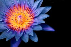 Blue Water Lily,  Blue Lotus Macro Shot Pistil And Stamen Detail Isolated On Black Stock Images