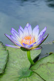 Blue water-lily Royalty Free Stock Image