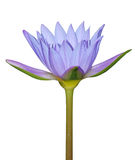 Blue water lily flower. A blue water lily flower isolated in white Stock Image