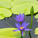 Blue water lily Royalty Free Stock Image