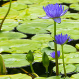 Blue water lily Stock Photo