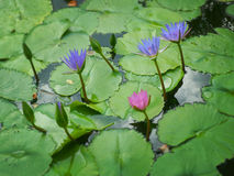 Blue water lily. With green leaves on the lake Royalty Free Stock Images