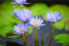Blue water lily Royalty Free Stock Photo