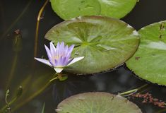 A blue water Lily, Indian Lotus Royalty Free Stock Photos