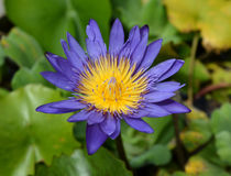 Blue water lily, lotus Stock Photos