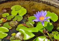 Blue water lily, lotus Royalty Free Stock Image